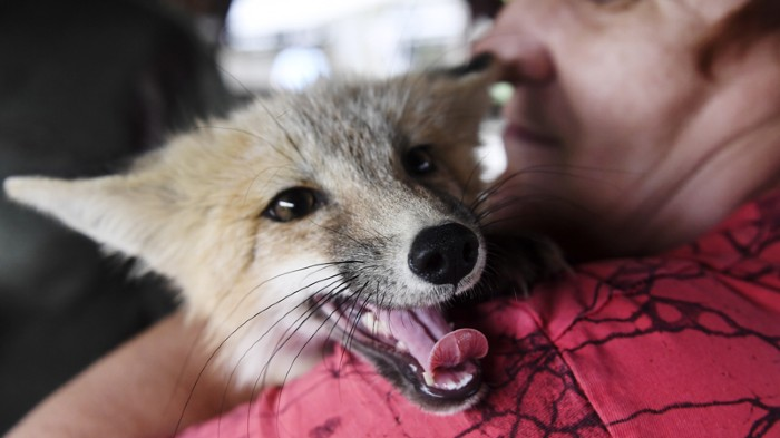 A man holds a domesticated fox