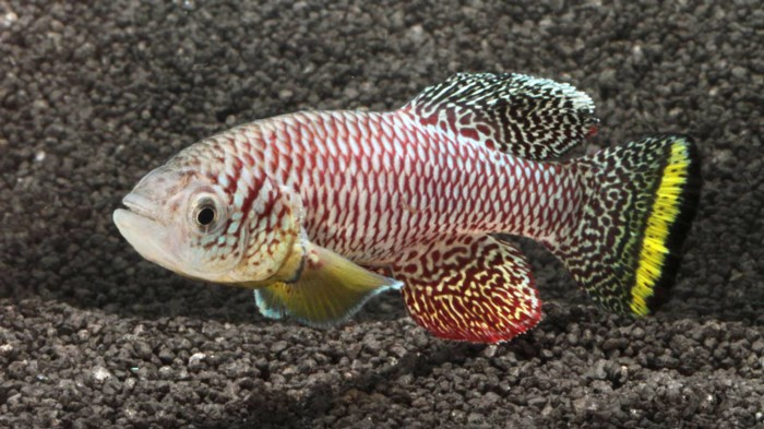 Adult male killifish (Nothobranchius furzeri)