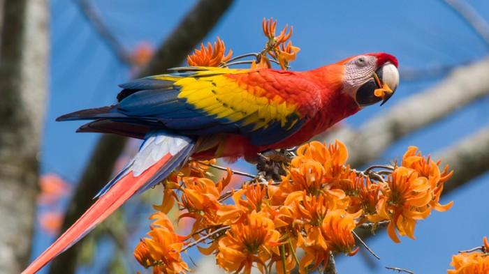Americans farmed a huge and raucous parrot a millennium ago
