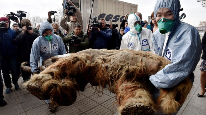 Workers carrying the body of a baby mammoth