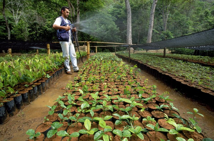A Man Waters Seedlings In Brazilian Nursery