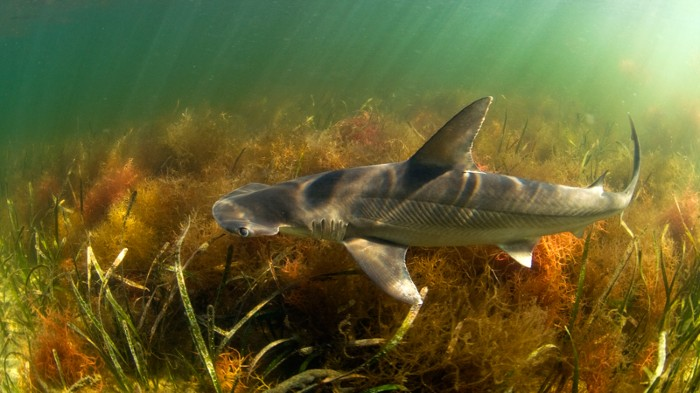 Bonnethead Shark in the shallows