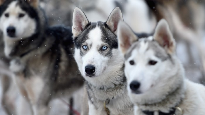 Group of Siberian huskies