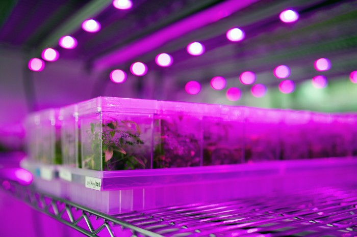 Cannabis plants grown in research lab