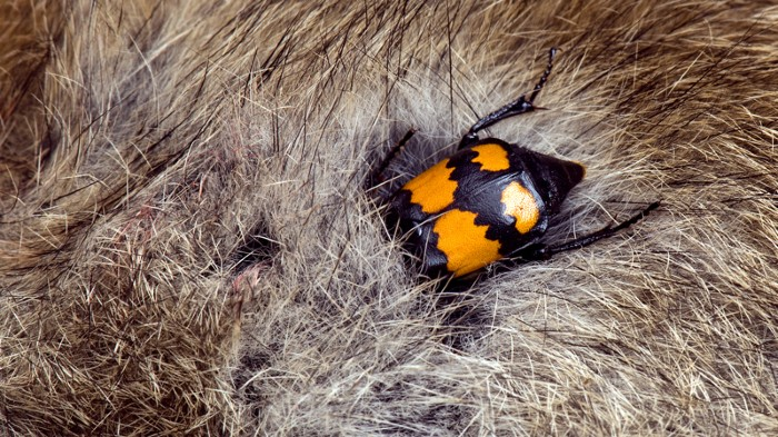 Burying Beetle feeding on rabbit carcass