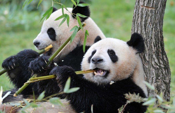 A male and female giant panda