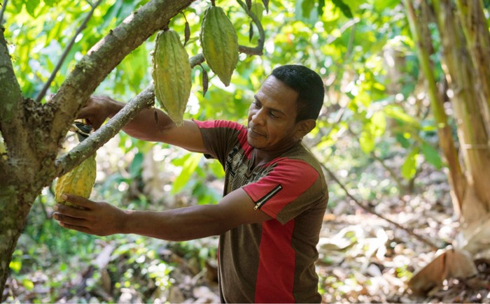 A farmer cuts ripe cocoa pods off a tree