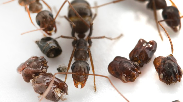 Florida's skull-collecting ant, next to trap-jaw ant body parts