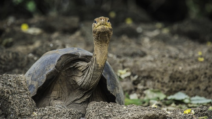 Lonesome George, a century-old tortoise