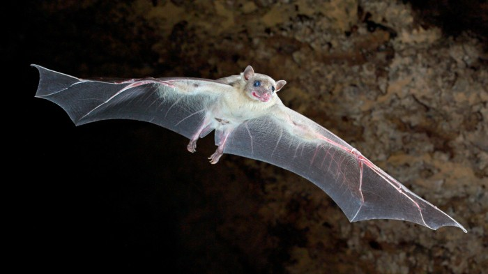 Adult Egyptian fruit bat appearing to smile as it flies out of its' cave to forage