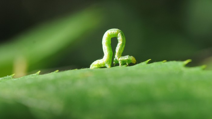An inchworm crawling along a leaf