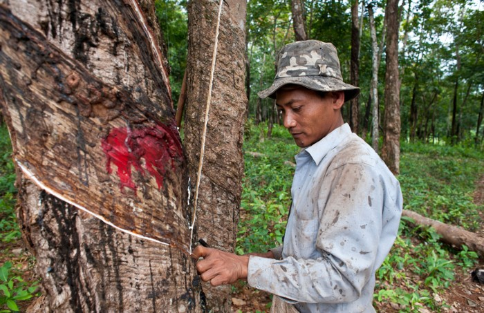 Works cuts rubber tree bark