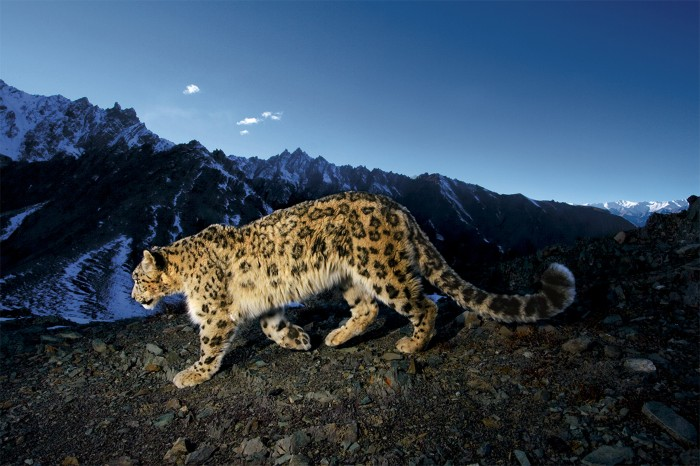 A snow leopard traverses a rocky slope at night in the nearby high altitude Hemis National Park in India.