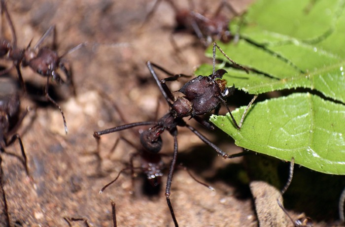 Leaf-cutter ant removing a leaf obstruction from a foraging trail