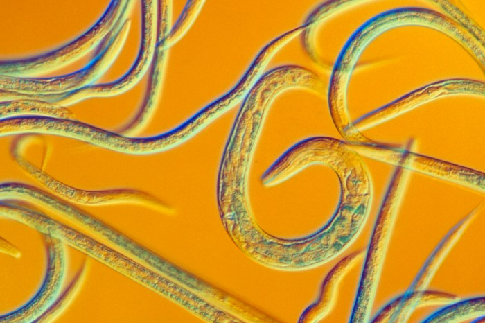 Light micrograph of Caenorhabditis elegans nematode worms