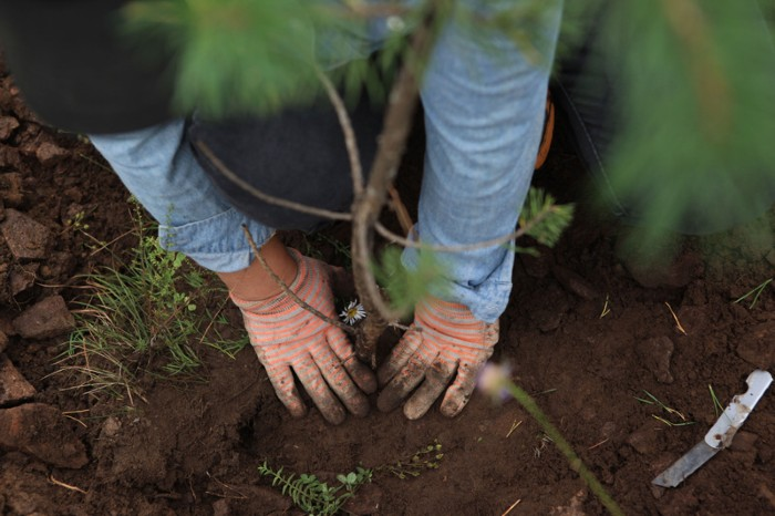 A worker plants a sapling of Mongolian Scots pine