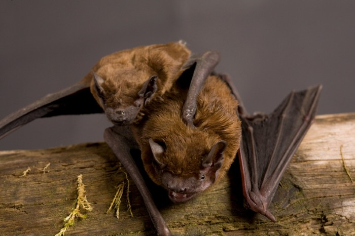 Adult and juvenile Noctule bat