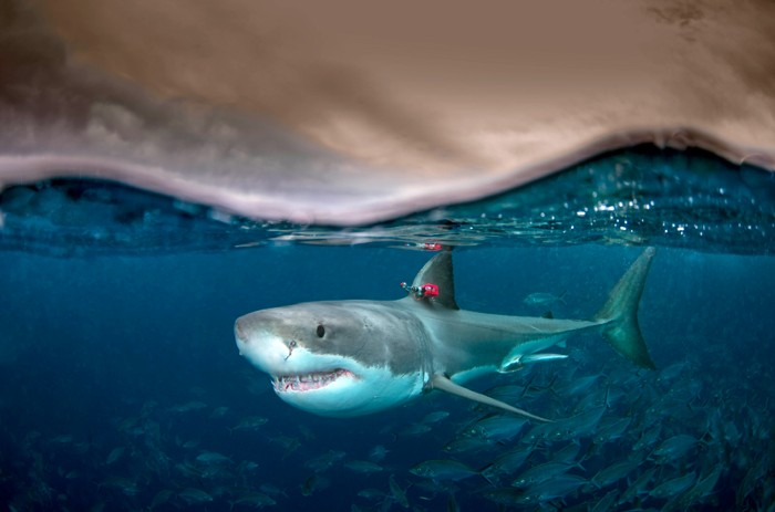 Underwater split image of a great white shark with a red tag attached to its dorsal fin