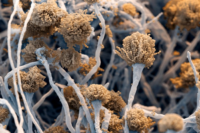 Scanning electron micrograph of the fungus Aspergillus fumigatus, made up of fungal threads with fruiting bodies at the tip