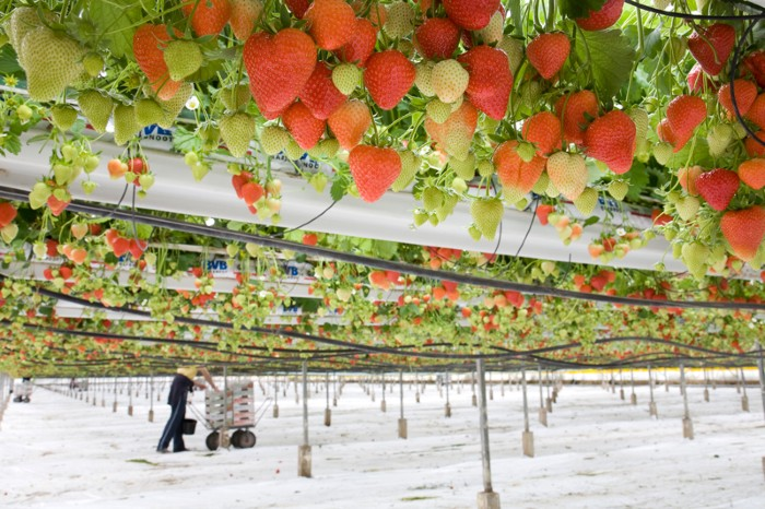 Commercial strawberry production by tabletop system