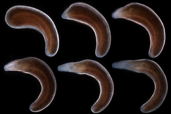 Lineus sanguineus at different stages of regeneration, from fragment to complete worm