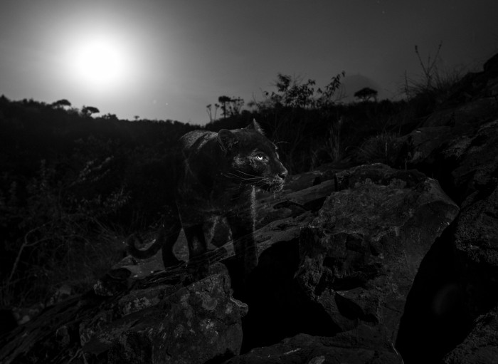 Camera trap photo of a young male melanistic leopard (Panthera pardus) walking at night under the moon at Laikipia Camp, Kenya