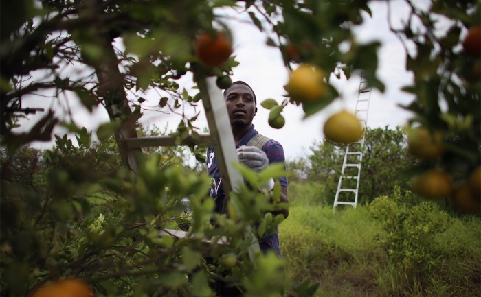 Antibiotics set to flood Florida's troubled orange orchards