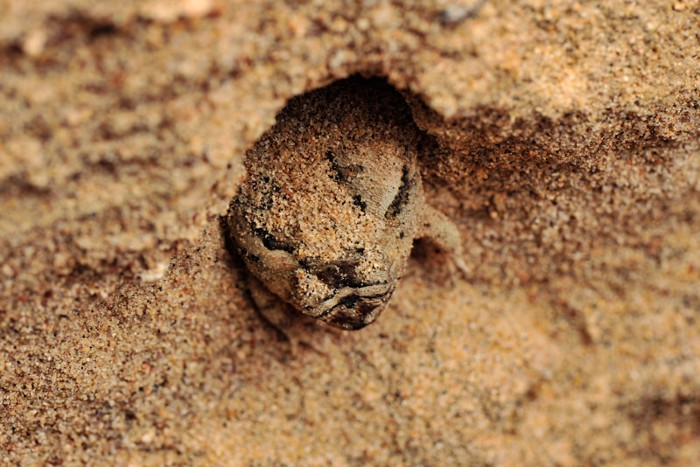 Aestivating frog partially buried in the sand of a river bed