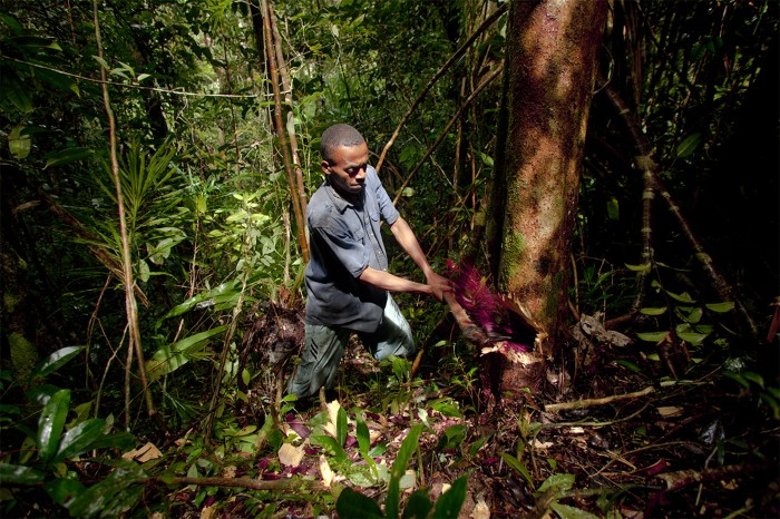 Red sap spurts into the air as a Malagasi worker cuts deep into a precious rosewood tree in a national park in Madagascar.