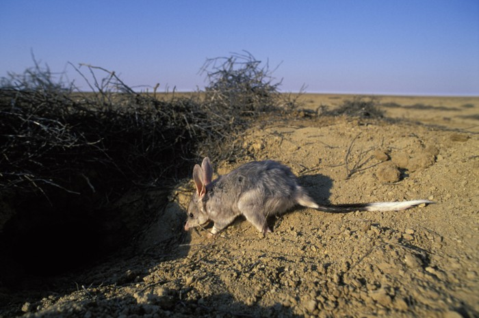 Greater bilby at a burrow