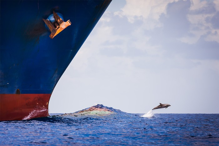A dolphin leaps out of the water ahead of the bow of a huge ship