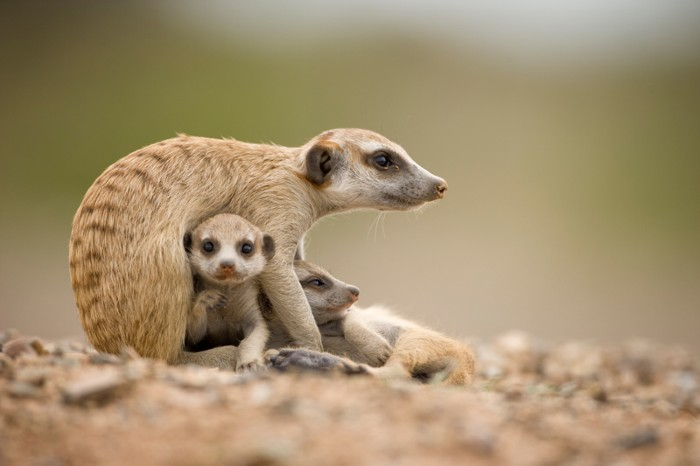 An adult meerkat protecting two pups while sitting outside burrow in the Namib Desert