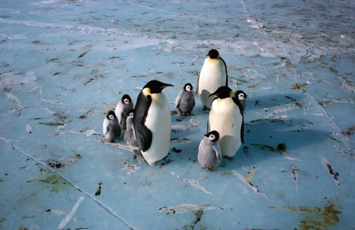 Emperor penguin adults and chicks sitting on sea ice