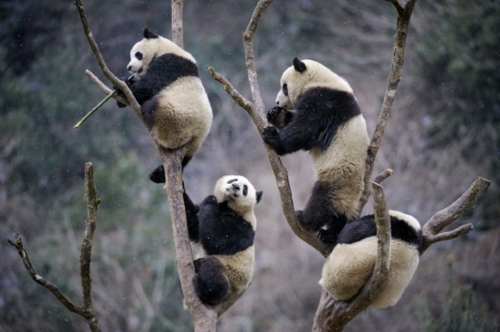 Four subadult Giant pandas climbing in tree