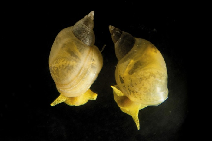 Wild-type dextral snail (right) and a CRISPR-created snail showing sinistral coiling (left).