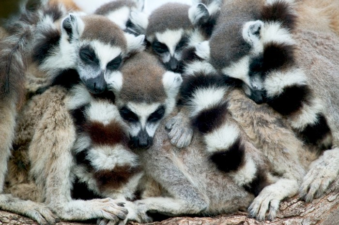 Ring-tailed Lemur group huddles for warmth as they sleep