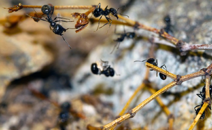 Veromessor pergandei worker ants respond to the chemical alarm signal of a sister ensnared in silk