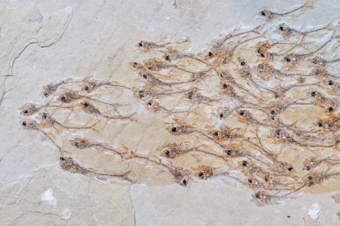 A fossilized group of the fish Erismatopterus levatus