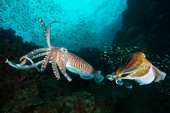 Two Pharaoh cuttlefish fighting