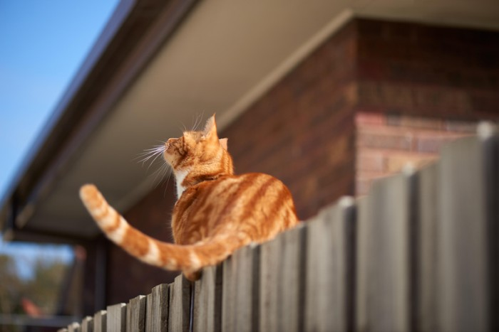 Red ginger tabby cat sitting balanced on a wooden fence looking up at something that got its attention.