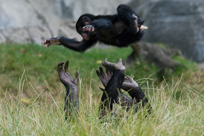 Bonobo female playing with youngster by throwing him up in the air