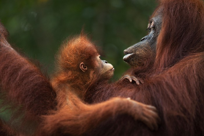 Sumatran Orangutan, female baby, named Sandri, with her twenty-two year old mother, named Sandra,