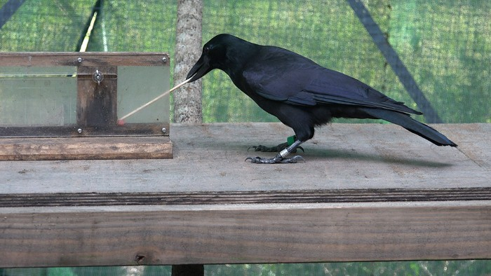 A crow using a tool takes a block of meat from an apparatus