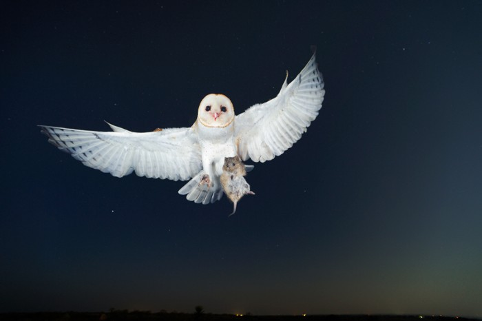 A white winged barn owl flies at night holding a rodent in its claws.