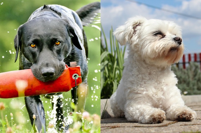 A black Labrador retriever (l) walking through grass returning a toy, and a Maltese (r) sat in a garden.