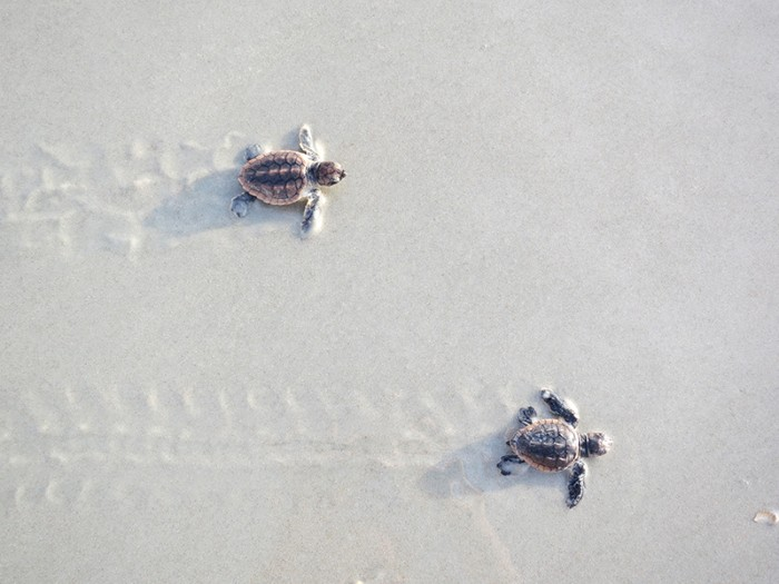 Two baby sea turtles leaving trails in the sand.