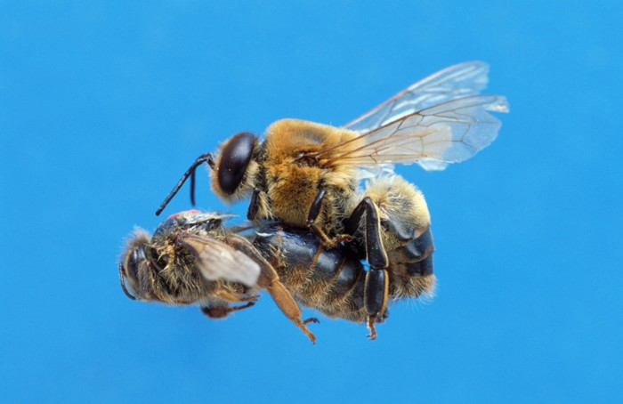 Honey Bee, Copulation Flight of Queen and Drone.