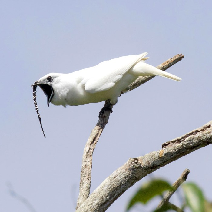 A male white bellbird screaming its mating call.