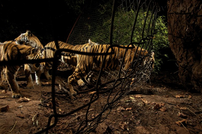 A tigress leads her three cubs through a hole in a fence to feed.