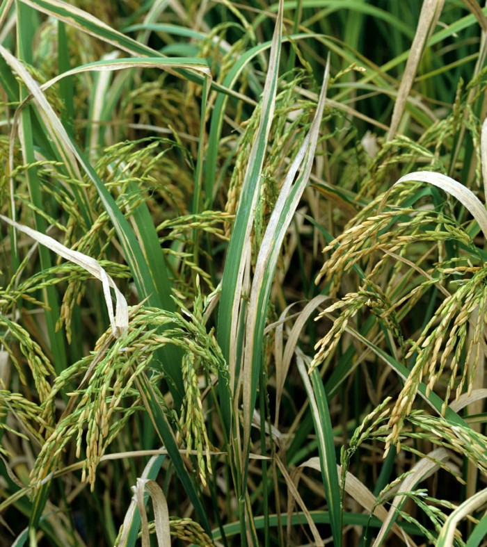 Bacterial blight (Xanthomonas oryzae) disease lesions on rice crop.